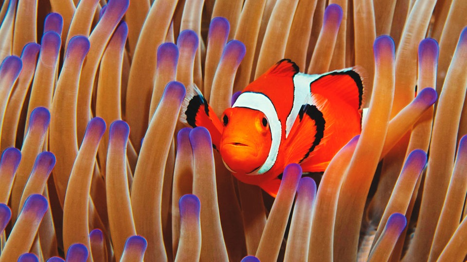 Clownfisch in Seeanemone